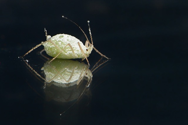 an aphid