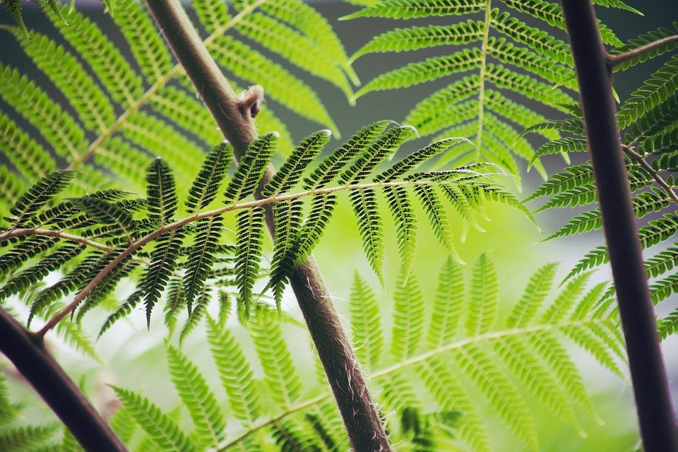 fight apids with ferns
