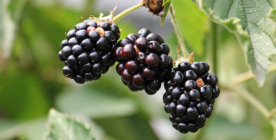 Aphids on blackberries