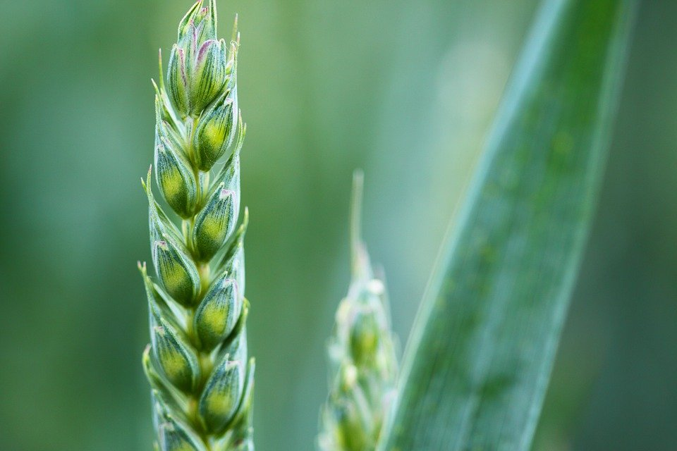 Aphids on crops