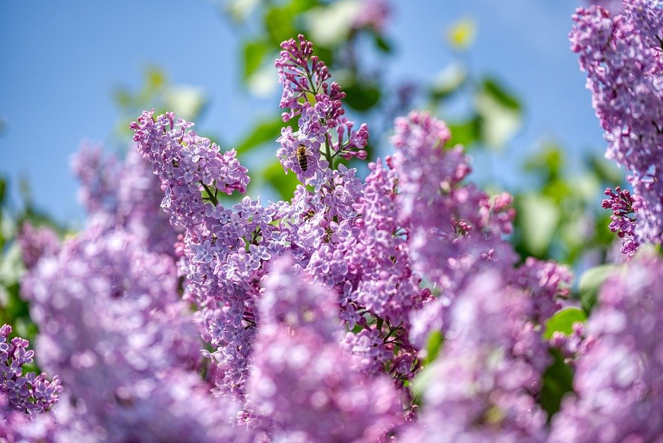 Aphids on lilacs