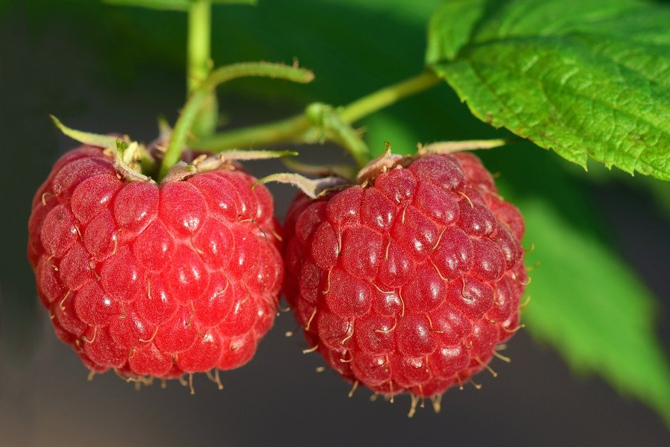 Aphids on raspberries