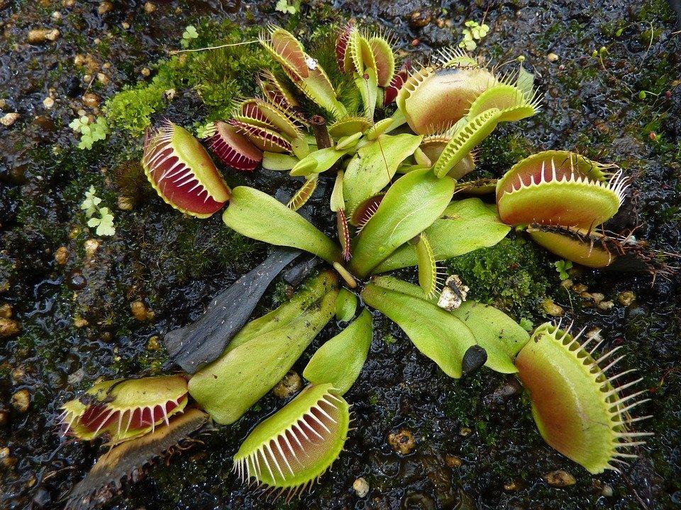 aphids on carnivorous plants)