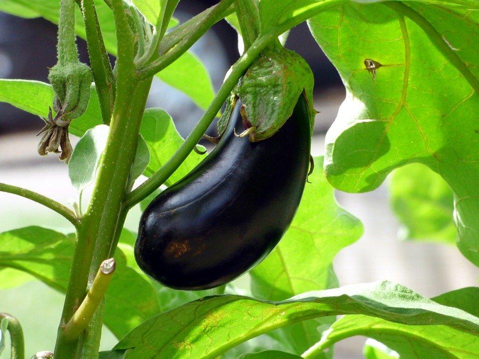 aphids on eggplants