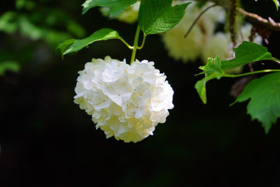 aphids on viburnum