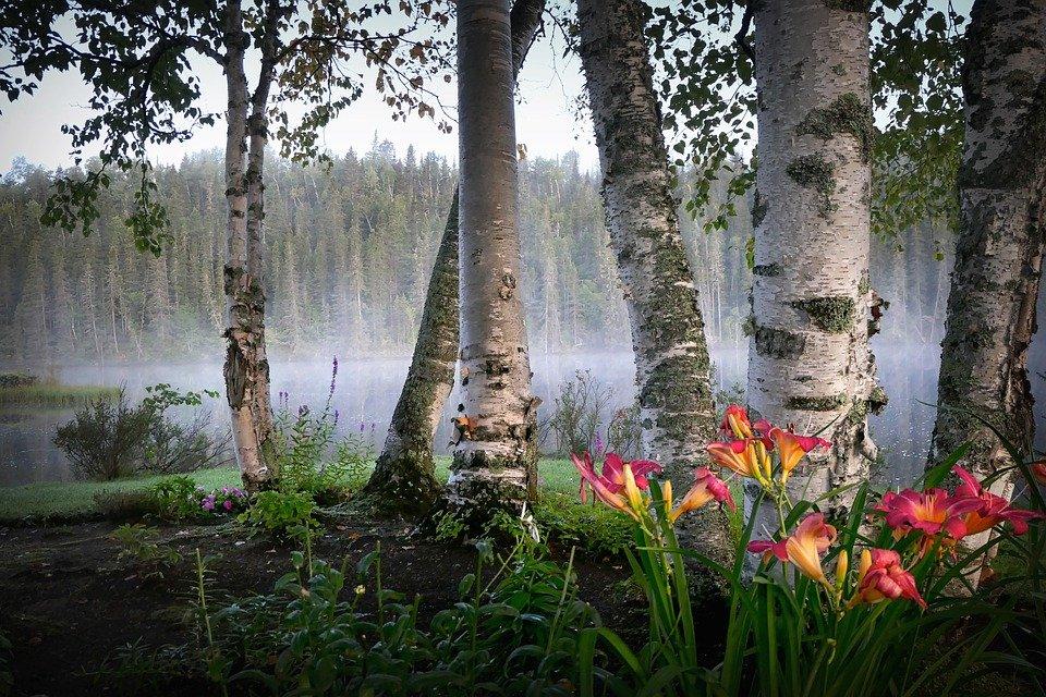 apids on birch trees